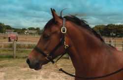 Windsor Leather Headcollar
